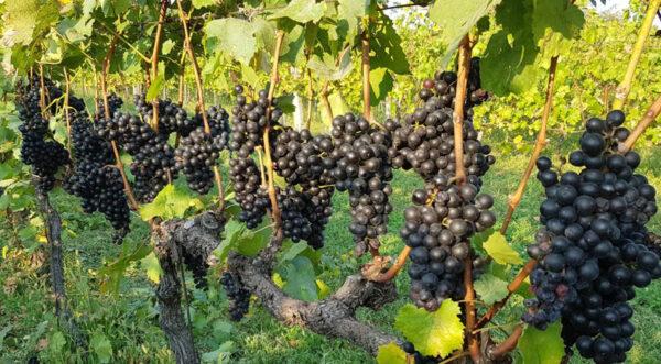 Érett kékfrankos szőlő
